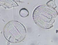 Campylodiscus_clypeus